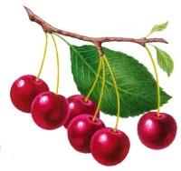Веточки вишни