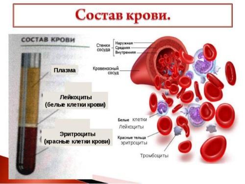 Расшифровка эритроцитов и лейкоцитов