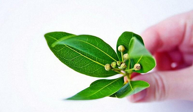 Лечение цистита лавровым листом за один день и в домашних условиях